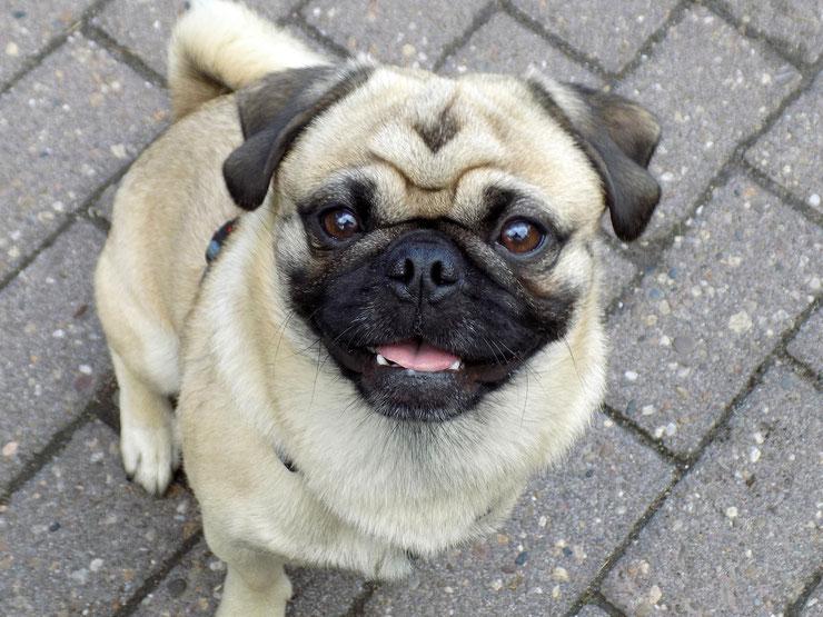 carlin race de chien poids taille alimentation caractere