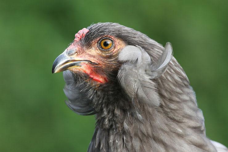 poule araucana