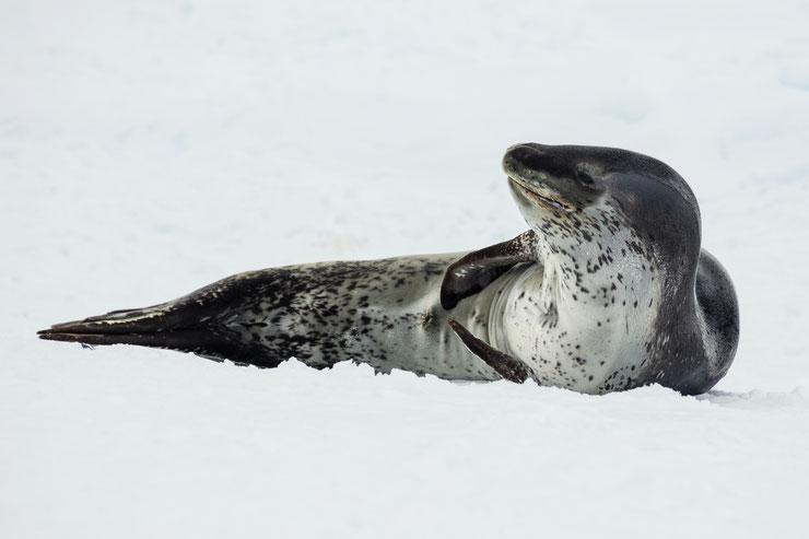 les animaux de la banquise et des cercles polaires pole sud nord arctique antarctique leopard des mers