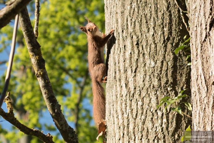 ecureuil roux fiche animaux sciurides animal facts red squirrel