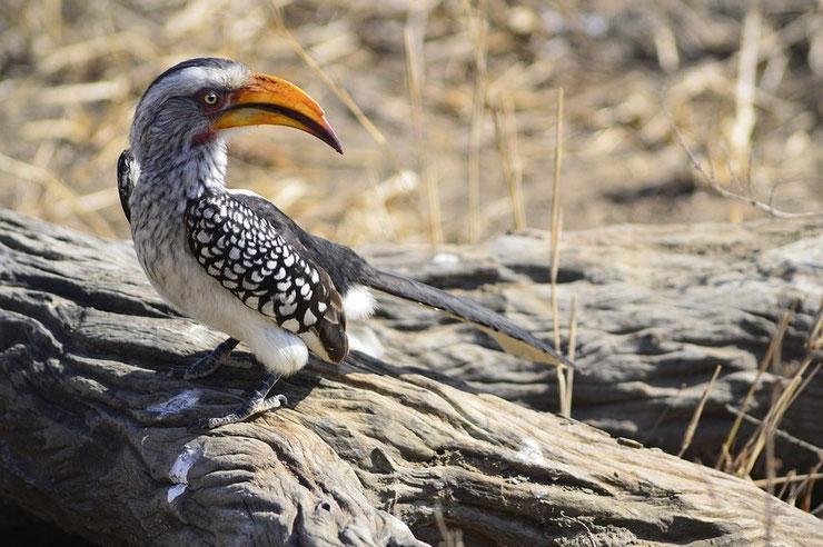 calao leucomele fiche animaux oiseaux afrique
