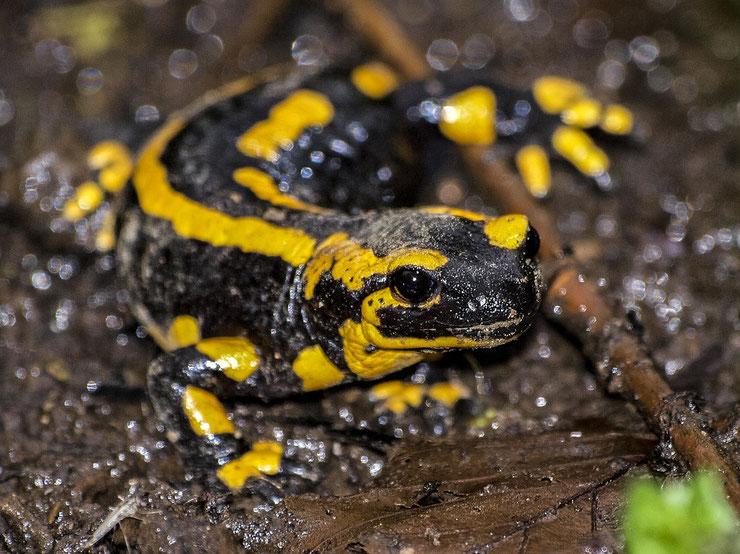 salamandre fiche reptile animaux de nos jardins