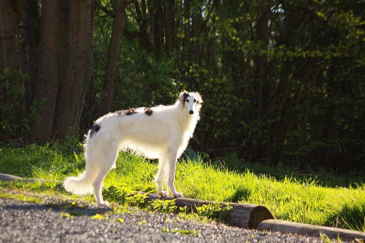 barzoi fiche chien animaux caractere comportement origine poil couleur