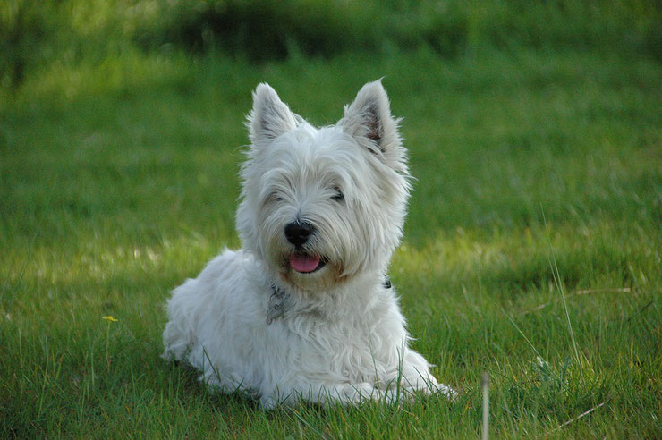 west highland white terrier westie fiche chien animaux
