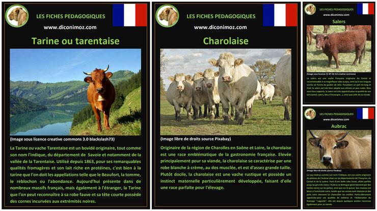 fiche animaux de la ferme les vaches à telecharger et a imprimer pdf comportement origine caractere race charolaise aubrac salers tarine tarentaise