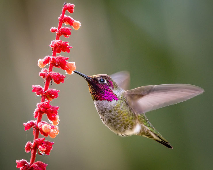 colibri d'anna fiche animaux oiseaux animal facts bird anna's hummingbird