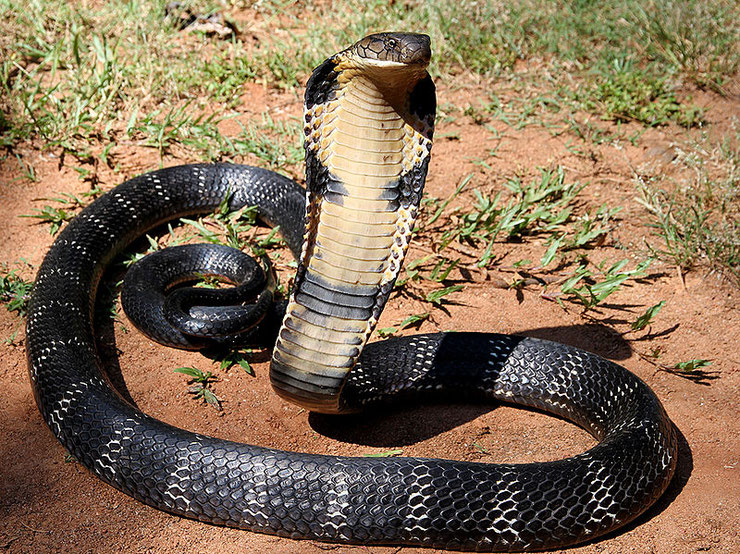 fiche serpent animaux cobra royal animal facts snake king cobra Ophiophagus hannah