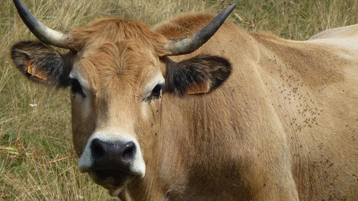 aubrac fiche vache animaux de la ferme