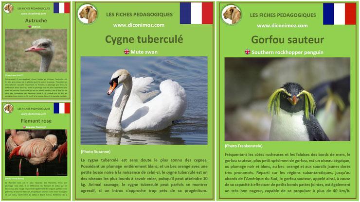 fiches animaux pedagogiques oiseaux à telecharger et a imprimer pdf download animal fact cygne tubercule gorfou sauteur autruche flamant rose