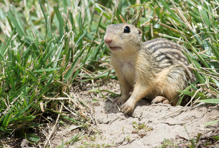 spermophile raye fiche animaux animal facts thirteen lined ground squirrel