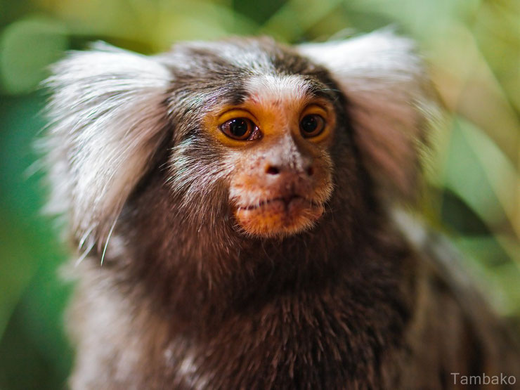 liste des animaux d'amazonie ouistiti a toupets blancs animal facts monkey marmoset amazonian forest