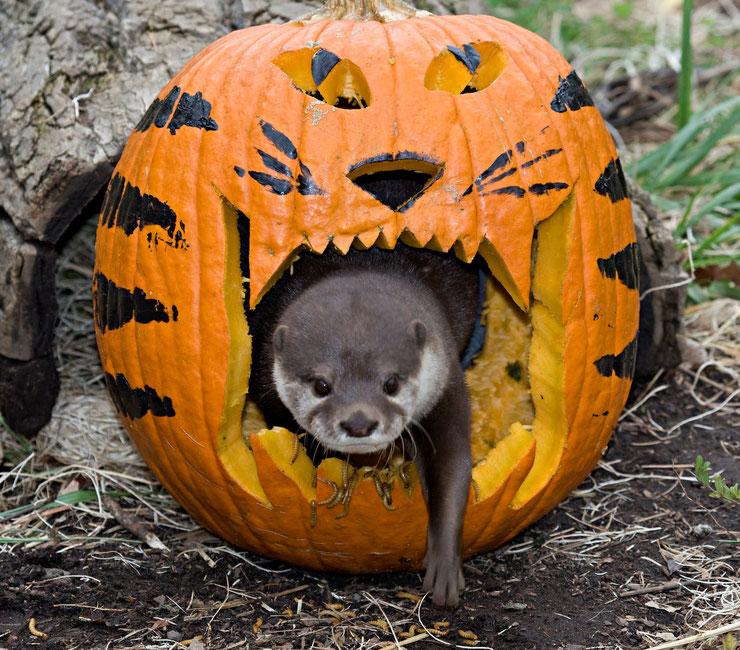 loutre halloween citrouille pumpkin otter