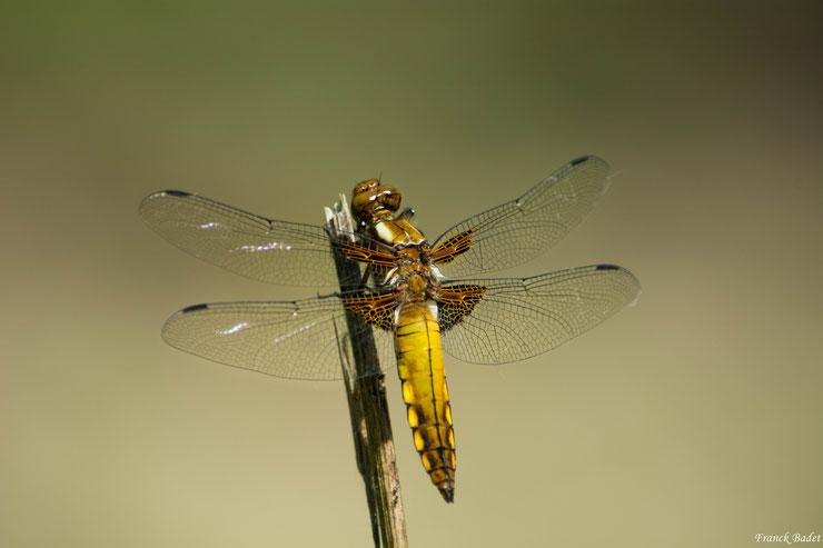 libellule depressive fiche insectes animaux sauvages
