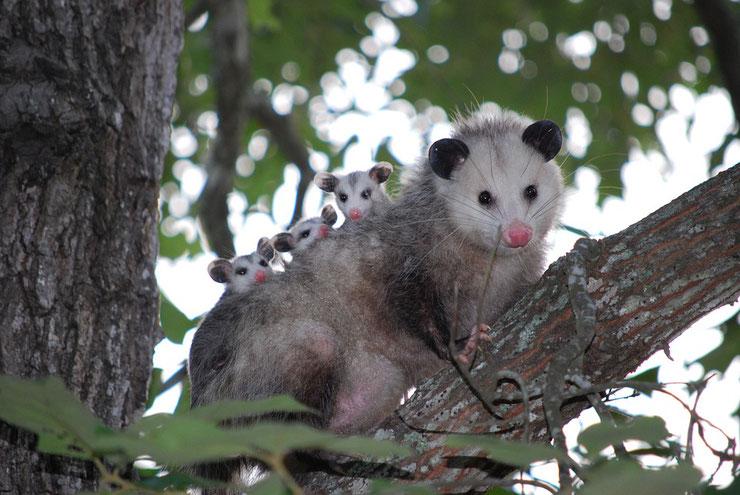fiche animaux opossum virginie taille poids caractere habitat longevite
