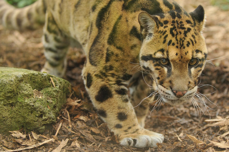 liste des animaux du tibet panthere nebuleuse