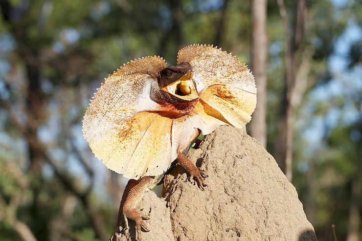 dragon australie fiche animaux reptile habitat taille poids