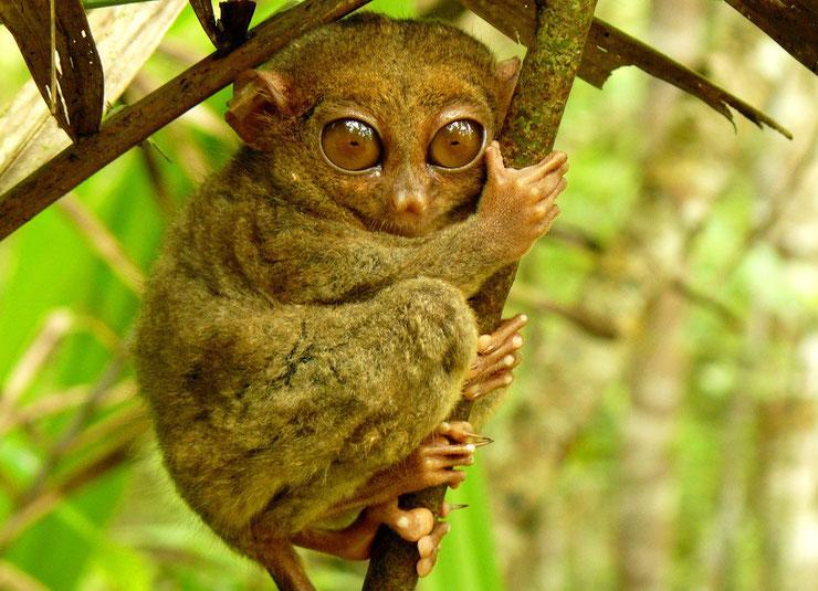 fiche animaux tarsier mammiferes philipines