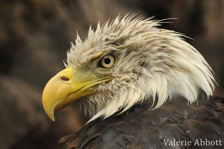 animaux canada quebec pyguargue a tete blanche aigle americain bald eagle
