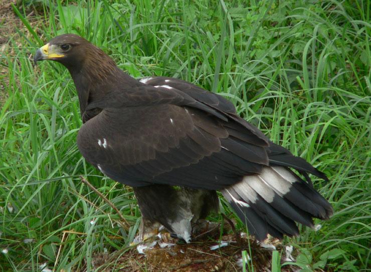 liste des animaux du Tibet aigle royal
