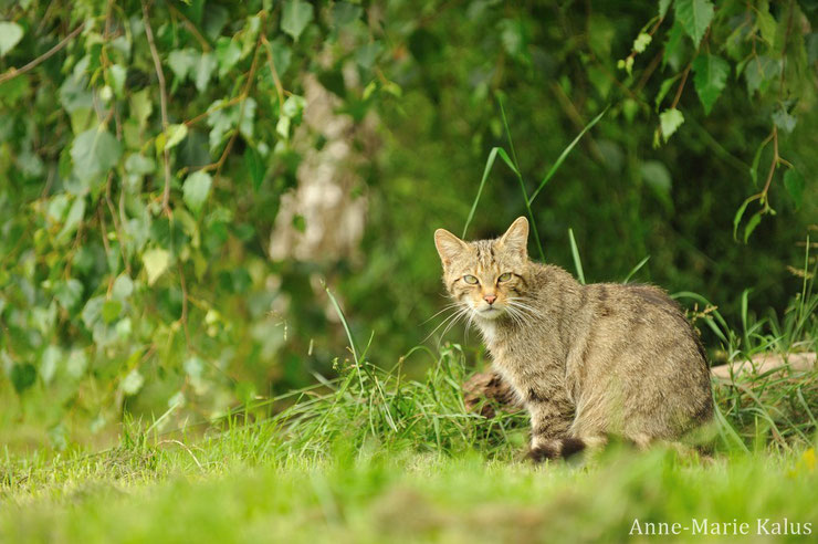 fiches felin chat sauvage animaux