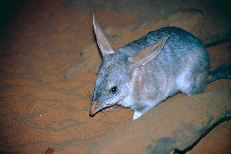 bilby bandycoot lapin fiche animaux australie marsupiaux