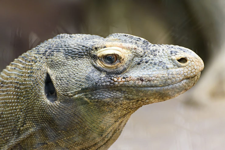dragon de komodo fiche reptile indonesie taille poids habitat