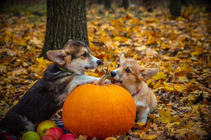 chien corgi welsh halloween citrouille