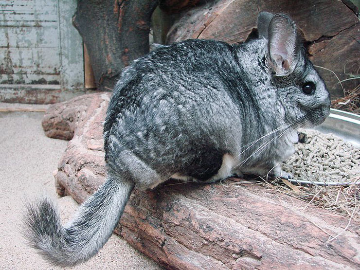 chinchilla rongeur fiche animaux  taille poids alimentation reproduction