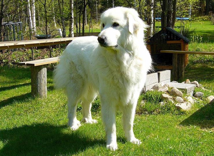 chien vedette de cinema montagne des pyrenees patou belle et sebastien