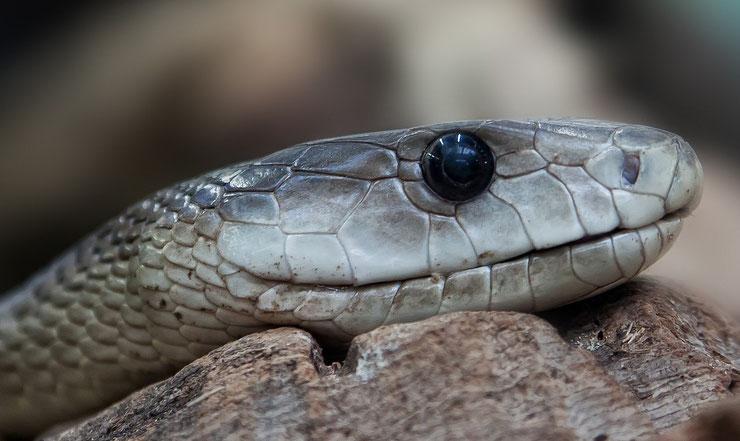 animaux mamba noir reptile serpent le plus dangereux d'Afrique
