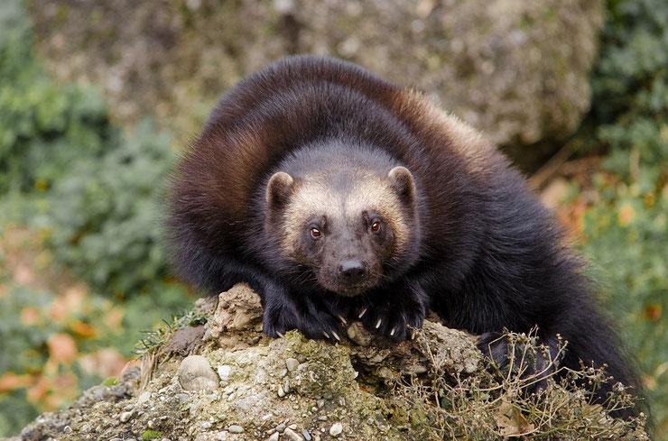 animaux canada carcajou wolverine glouton