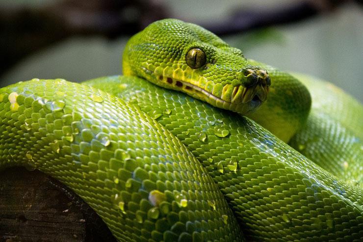 python vert fiche reptiles serpent animal facts green tree python morelia viridis habitat alimentation taille poids