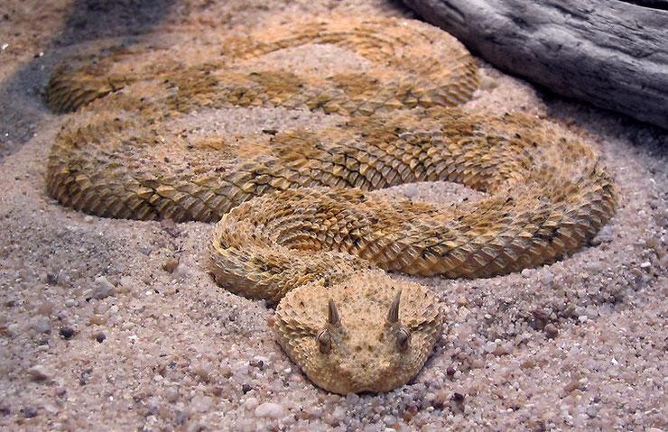 vipere a cornes maghreb algerie maroc cerastes cerastes fiche animaux serpent reptiles