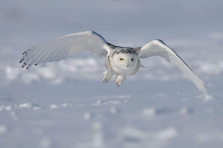 harfang des neiges  poids taille habitat distribution fiche oiseaux animaux