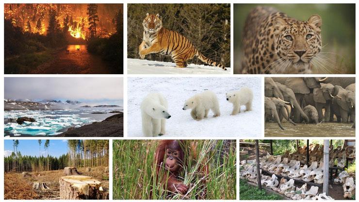 animaux en danger destruction habitat rechauffement climatique braconnage