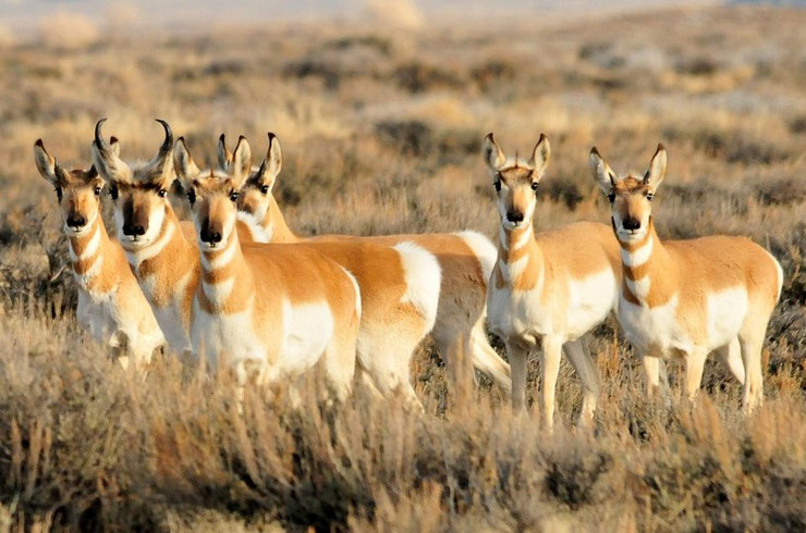 fiche animaux pronghorn animal facts amerique poids taille alimentation reproduction habitat repartition