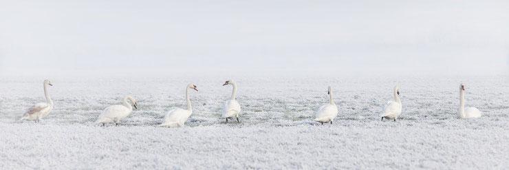 cygne dans la neige oiseaux swan cygnes chanteur