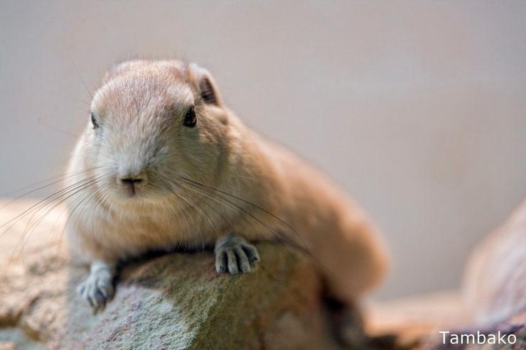 goundi de l'atlas fiche animaux poids taille longevite habitat repartition