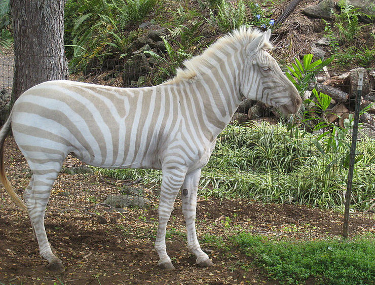zebre dore albinos tres rare dans la nature