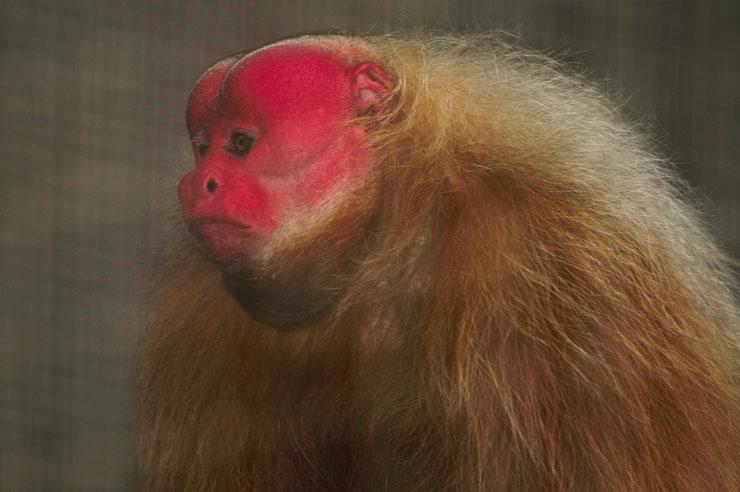 ouakari chauve fiche animaux singe a tete rouge