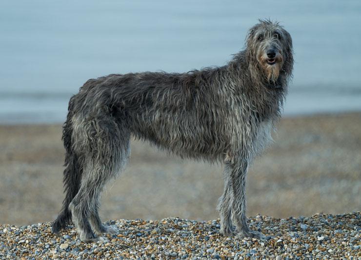 deerhound levrier ecossais fiche chien animaux animal facts dog caractere comportement origine poil couleur