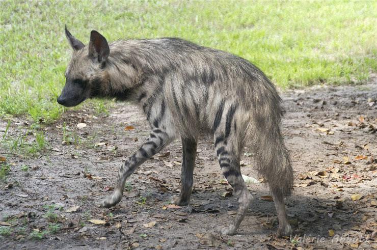 animaux a rayures hyene rayee