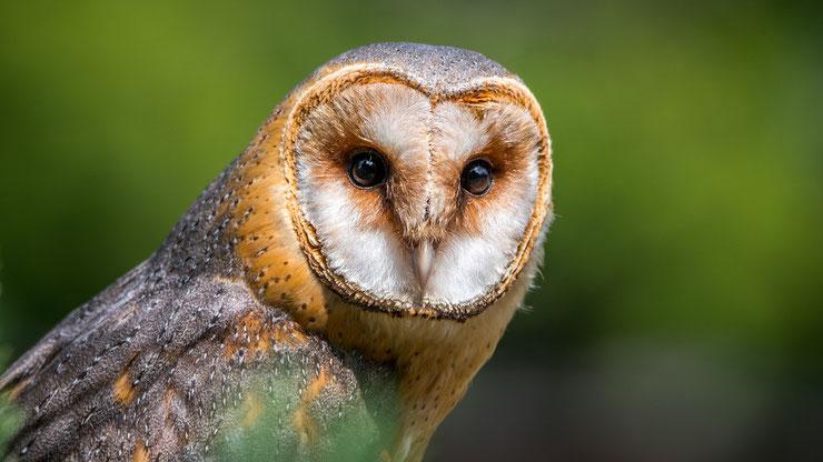chouette effraie fiche oiseau rapaces nocturnes animaux sauvages europe