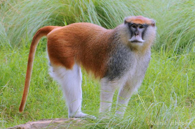 quizz animaux theme singes primates 20 questions tester vos connaissances jeux game qcm