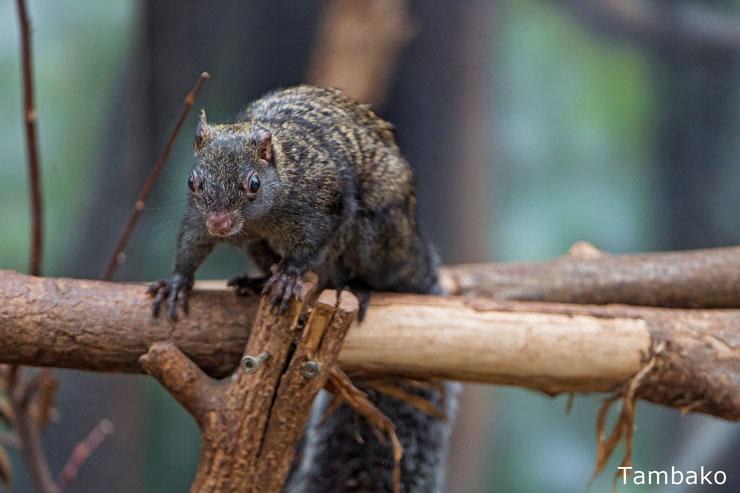 fiche animal ecureuil du yucatan Sciurus yucatanensis du sud comportment taille poids