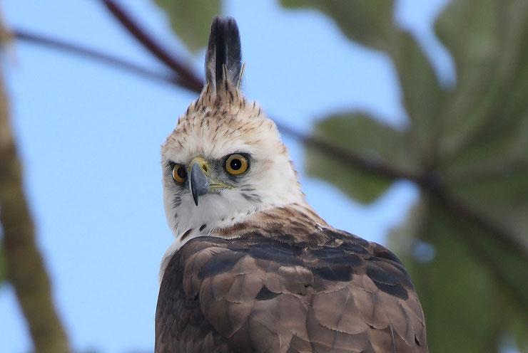 liste des animaux d'amazonie spizaete orne animal facts bird list amazonian forest