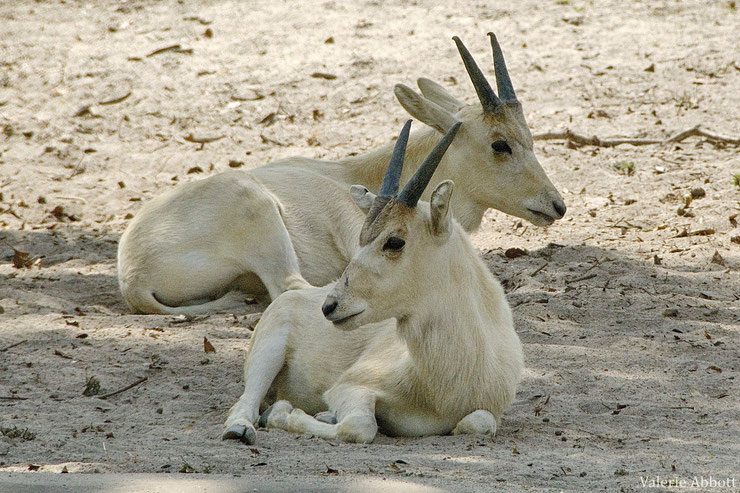 addax fiche animaux juvenile bebe bovides young animals fact