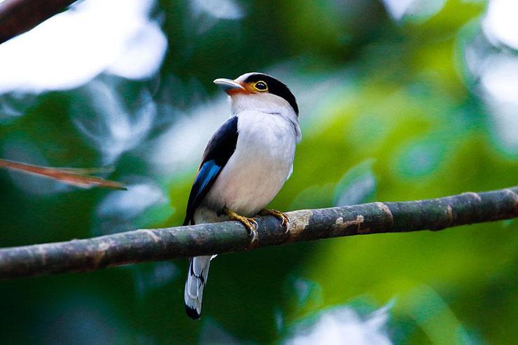 eurylaime de gould oiseau fiche comportement taille distribution poids