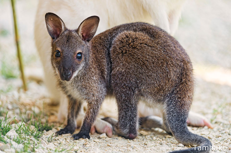 bebe kangourou wallaby kangaroo mignon cute animal baby