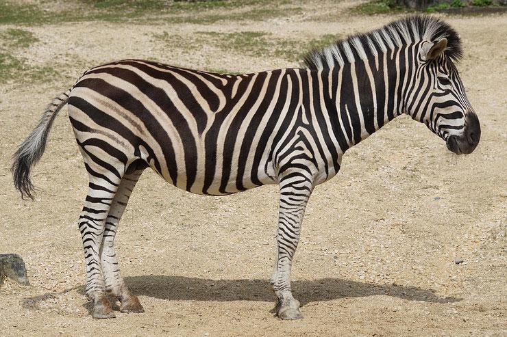 zebre des plaine de burchell animaux afrique zebra animal africa
